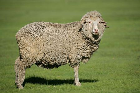 merino: A merino sheep standing in lush green pasture