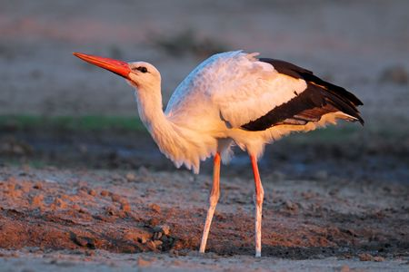 Migratory white stork (Ciconia ciconia) in early morning light, South Africa Stock Photo - 7254278