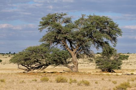 African landscape with a camelthorn Acacia tree (Acacia erioloba), Kalahari, South Africa Stock Photo - 7444375