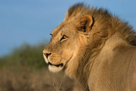 Portrait of a big male African lion (Panthera leo), Kalahari desert, South Africa photo