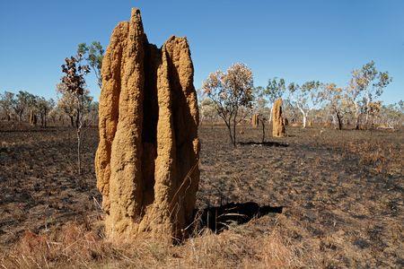 termite: Massive cathedral termite mounds (Nasutitermes triodae), Kakadu National Park, Northern Territory, Australia