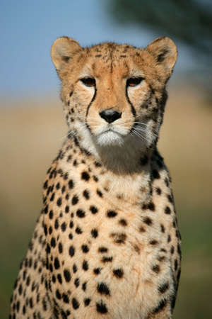 upright: Portrait of a cheetah (Acinonyx jubatus) sitting upright, South Africa Stock Photo