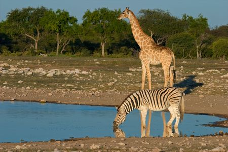 pozo de agua: Una cebra de llanuras (Burchells) y una jirafa en un charca, Parque nacional Etosha, Namibia, el �frica meridional