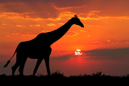 herbivore natural: A giraffe silhouetted against a dramatic sunset with clouds, South Africa