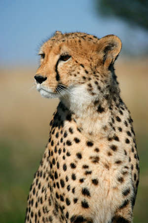 acinonyx: Portrait of a cheetah (Acinonyx jubatus) sitting upright, South Africa Stock Photo