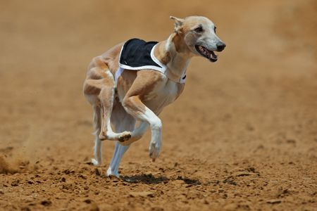Whippet dog at full speed during a race photo