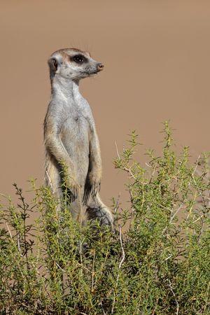 przewidywanie: Ostrzegania Surykatka (Suricata suricatta) stojącym pionowo w oczekiwaniu na niebezpieczeństwa, Republika Południowej Afryki