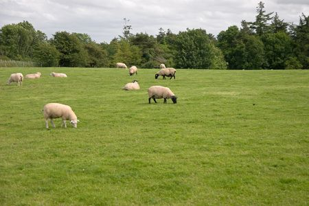 Sheep grazing on lush green pasture in the Irish countryside  photo