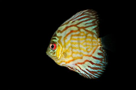 Underwater view of a colorful blue discus fish (Symphysodon aequifasciata) Stock Photo - 7639584