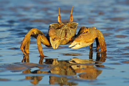 Mozambique: Ghost crab (Ocypode spp.) on the beach, Mozambique, southern Africa