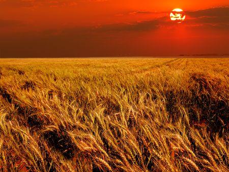 cultivo de trigo: Campo de trigo en luz c�lida al atardecer