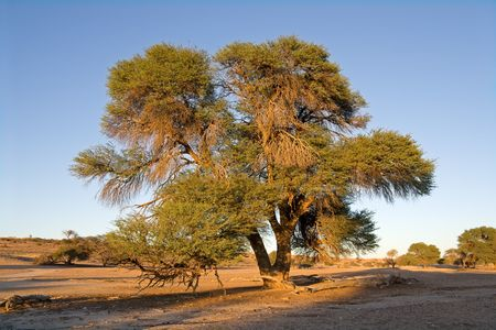 African landscape with a camelthorn Acacia tree (Acacia erioloba), Kalahari, South Africa Stock Photo - 7702371