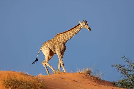 giraffa: Giraffe (Giraffa camelopardalis) walking on a sand dune, Kalahari desert, South Africa Stock Photo