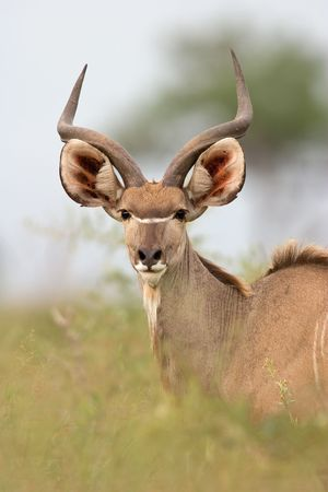 Portrait of a male Kudu antelope (Tragelaphus strepsiceros), Kruger National Park, South Africa photo