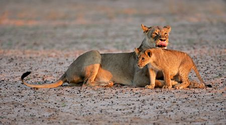 Lioness with young lion cub (Panthera leo) in early morning light, Kalahari desert, South Africa photo