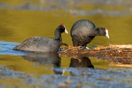 A pair of redknobbed coots (Fulica cristata) nesting on floating vegetation, South Africa Stock Photo - 7807680