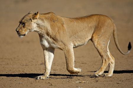 Lioness (Panthera leo) walking, Kalahari desert, South Africa photo