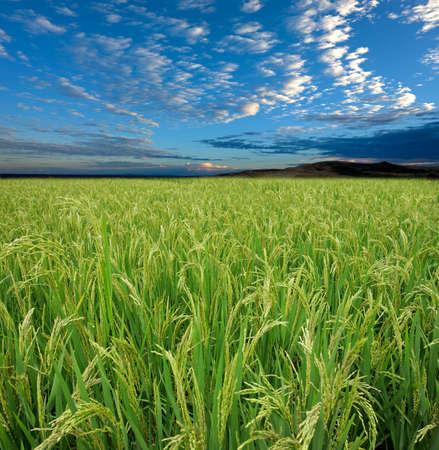 arroz chino: Campo de arroz verde exuberante con un cielo azul y las nubes