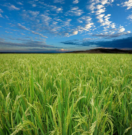 rice grains: Lush green rice field with a blue sky and clouds