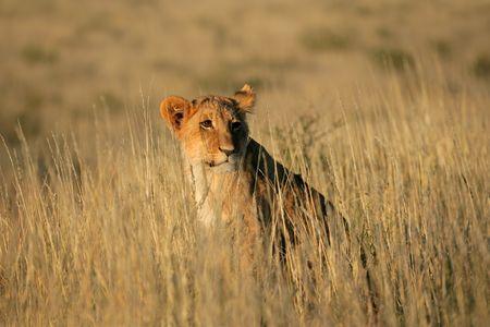 Young lion cub (Panthera leo) sitting among grasses, Kalahari, South Africa photo