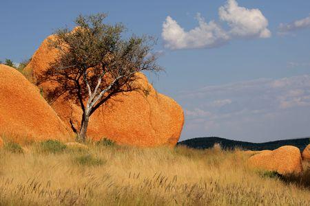 A shepherds tree (Boscia albitrunca) against a rock, Spitzkoppe, Namibia, southern Africa Stock Photo - 7957610