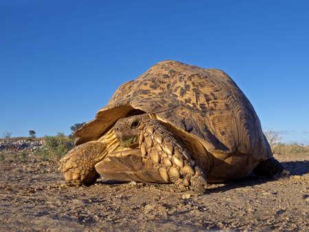 kalahari desert: Mountain or leopard tortoise (Geochelone pardalis), Kalahari desert, South Africa