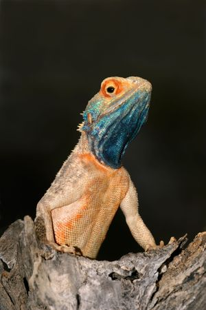 aculeata: Male ground agama (Agama aculeata) in bright breeding colors, Kalahari desert, South Africa
