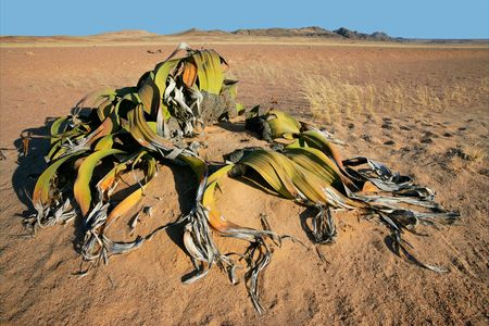national plant: Ancient welwitschia plant (Welwitcshia mirabilis), Namib-Naukluft National park, Namibia, southern Africa Stock Photo