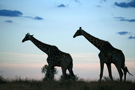 Two giraffes silhouetted against a late afternoon sky with clouds, South Africa Stock Photo - 8107434