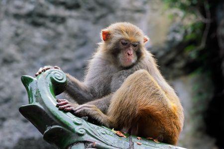 ourdoor: Rhesus macaque monkey (Macaca mulatta), southern China