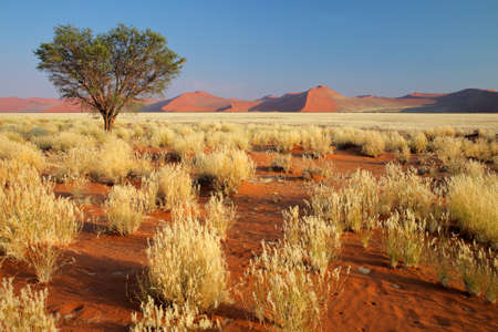 sossusvlei: Desert landscape with  grasses, red sand dunes and an African Acacia tree, Sossusvlei, Namibia, southern Africa