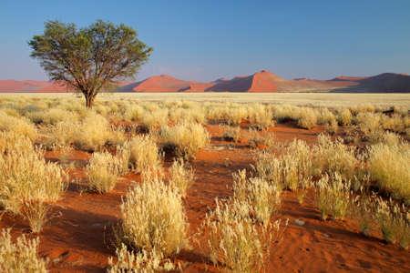 gramineas: Paisaje de desierto con pastos, dunas de arena rojas y un �rbol de Acacia Africana, Namibia, Africa, Namibia, Africa del sur