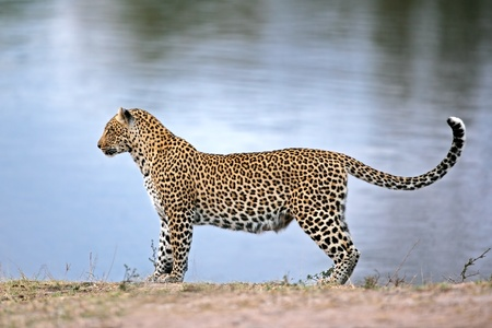 waterhole: Alert leopard (Panthera pardus)  at a waterhole, South Africa