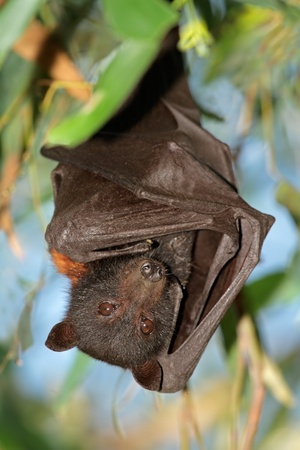 kakadu: Black flying-fox (Pteropus alecto), Kakadu National Park, Northern territory, Australia  Stock Photo