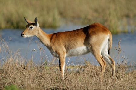 A female red lechwe antelope (Kobus leche), Chobe National Park, Botswana, southern Africa Stock Photo - 8780492