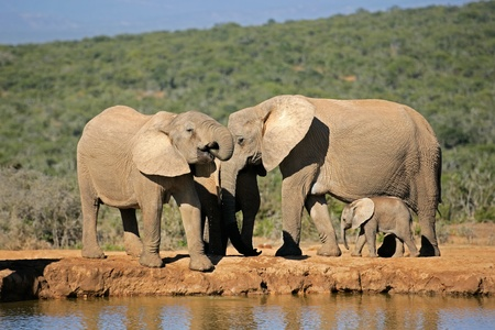 waterhole: African elephants (Loxodonta africana) drinking water at a waterhole, Addo Elephant park, South Africa