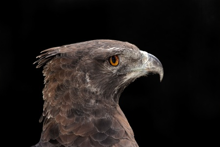Portrait of a martial eagle (Polemaetus bellicosus), South Africa Stock Photo - 8914011