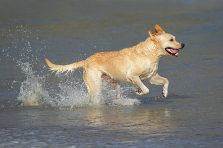 Golden retriever running and playing in shallow water  photo