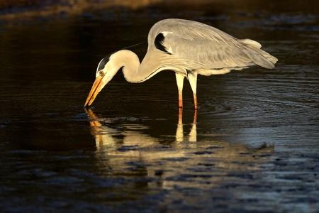 ardea cinerea: Grey heron (Ardea cinerea) in water with reflection, South Africa