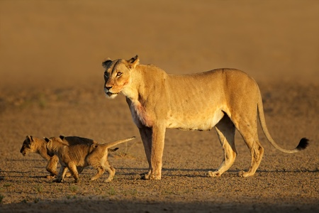 Lioness with young lion cubs (Panthera leo) in early morning light, Kalahari desert, South Africa  photo