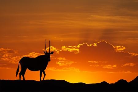 silhouetted: Gemsbok antelope (Oryx gazella) silhouetted against a red sky, Kalahari desert, South Africa