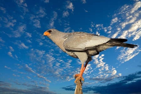 Pale Chanting goshawk (Melierax canorus) against a blue sky with clouds, South Africa
