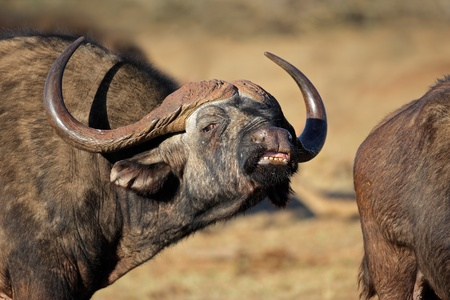 Portrait of an African or Cape buffalo (Syncerus caffer), Addo National park, South Africa  Stock Photo - 9716390