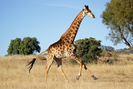 Giraffe (Giraffa camelopardalis) running on the African plains, South Africa Stock Photo
