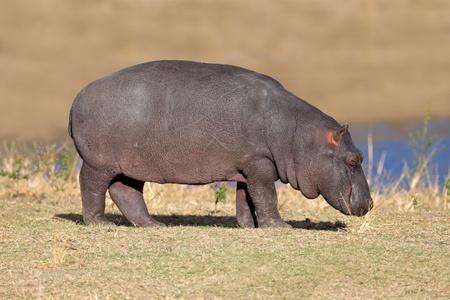 herbivore: A young hippopotamus (Hippopotamus amphibius), South Africa LANG_EVOIMAGES