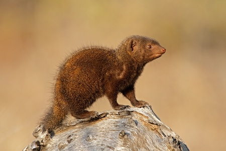 mongoose: A dwarf mongoose (Helogale parvula), Kruger National Park, South Africa LANG_EVOIMAGES
