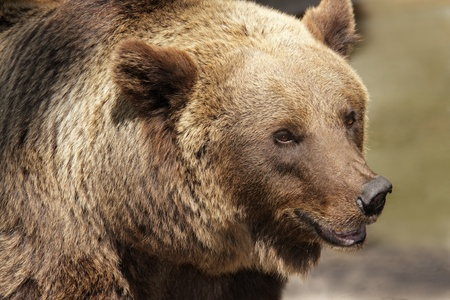 carnivore: Portrait of a Grizzly bear (Ursus arctos horribilis), North America
