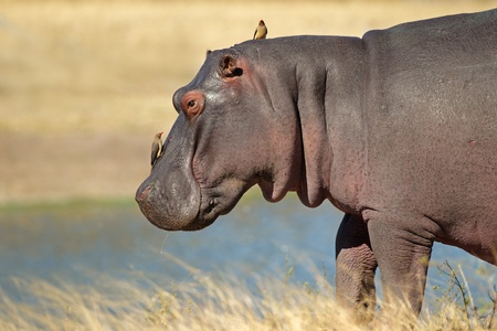 Hippopotamus (Hippopotamus amphibius) with oxpecker birds, Sabie-Sand nature reserve, South Africa  Stock Photo - 10231446