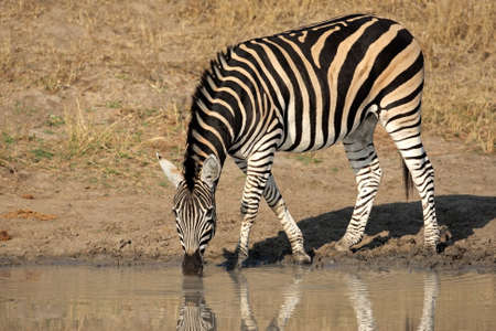 plains: A Plains (Burchells) Zebra (Equus quagga) drinking water, South Africa