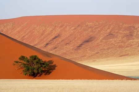 namib: Landscape with a red sand dune, African Acacia tree and desert grasses, Sossusvlei, Namibia, southern Africa